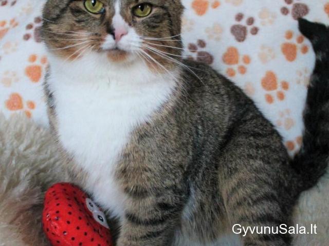 Kambarinis kastruotas katinėlis ieško namų