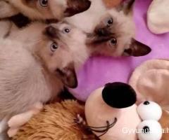 Parduodami Siamo kačiukai