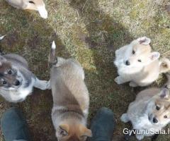 Parduodami sibiro laikos šuniukai