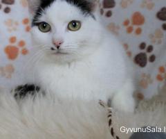 Dovanoju jauną sterilizuotą katytę